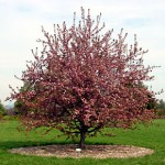 Malus_tree