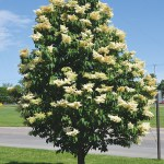 Trees-Japanese-Tree-Lilac